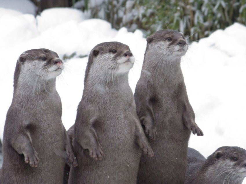 Otters on the Lookout