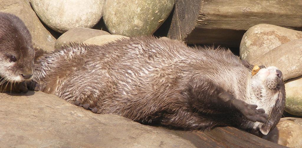 Otter Has a Pebble