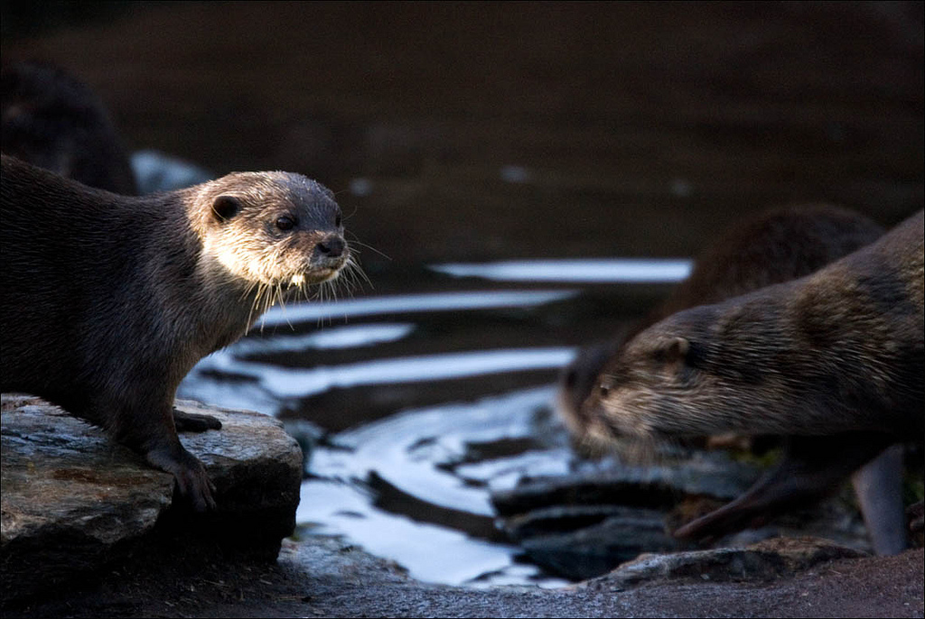 Otters at the Watering Hole