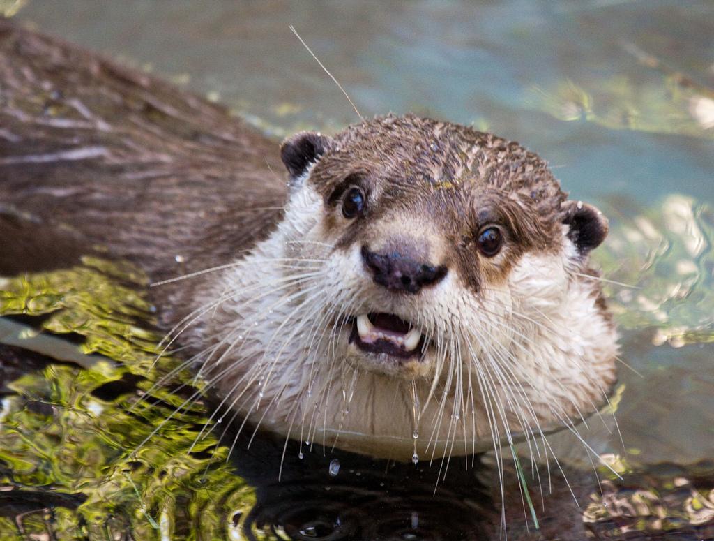 Surprised Otter