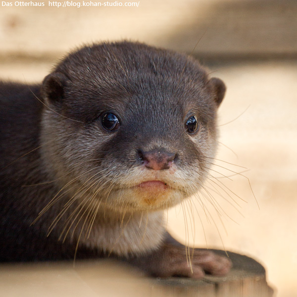 Otter Pup is Pensive