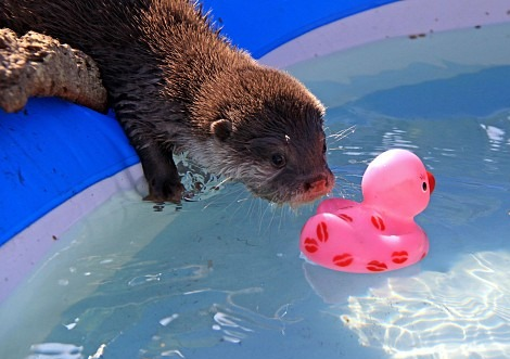 Otter with Rubber Ducky