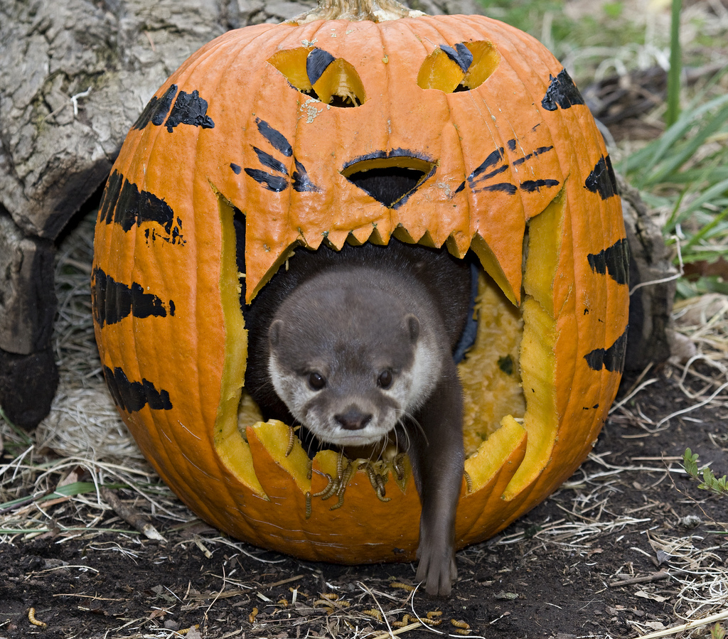 Otters Play with Halloween Pumpkin at Smithsonian's National Zoo 1