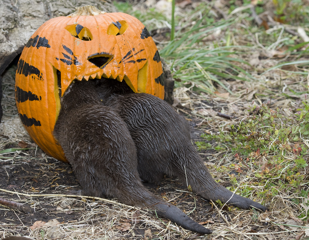 Otters Play with Halloween Pumpkin at Smithsonian's National Zoo 2