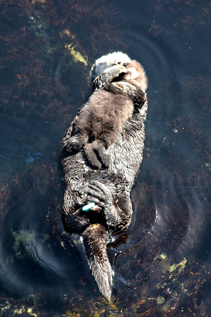 Mother Otter Cuddles Pup