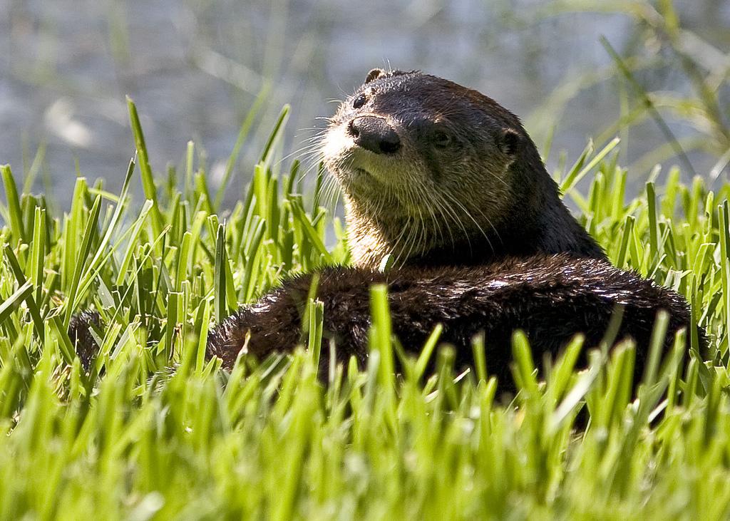 Otter's Glamour Shot