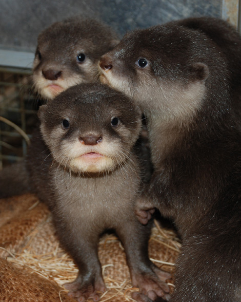 Baby Otter Stare