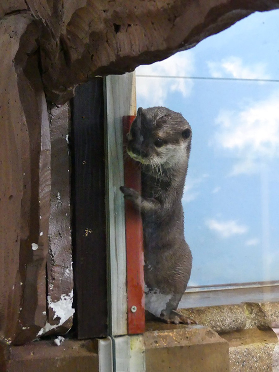 Curious Otter Wants to Know What's Going On in There 1
