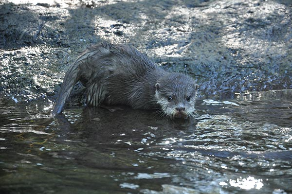 Otter Pup Just Realized He's Being Watched