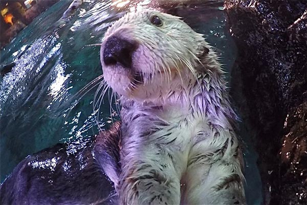 Sea Otter Selfie!
