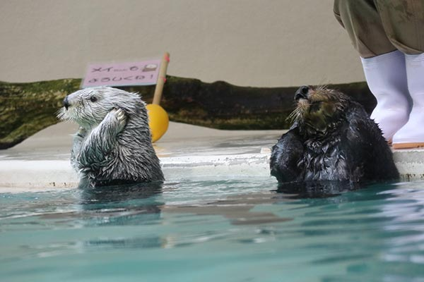 Sea Otters Scrub Up in the Bath