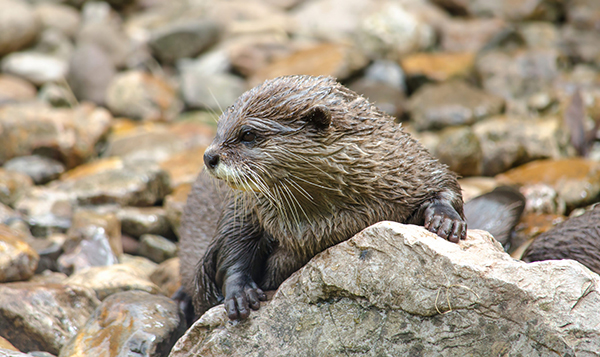 Otter Jealously Guards His Rock