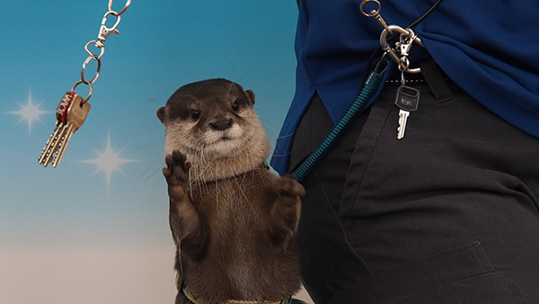 Otter Waits for the Perfect Moment to Grab Human's Keys and Find the Kitchen!