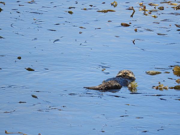Sea Otter Floats Among the Kelp