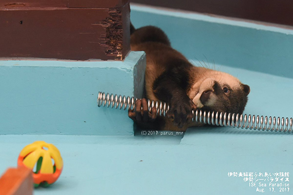Otter Has a New Toy 1