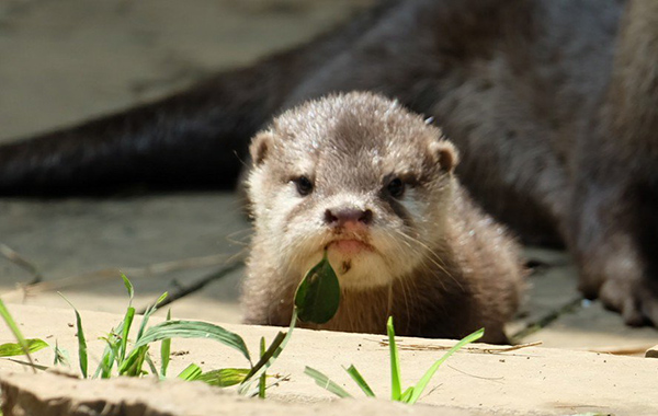 Grumpy Otter Pup Already Knows He Has Something in His Mouth, Okay?
