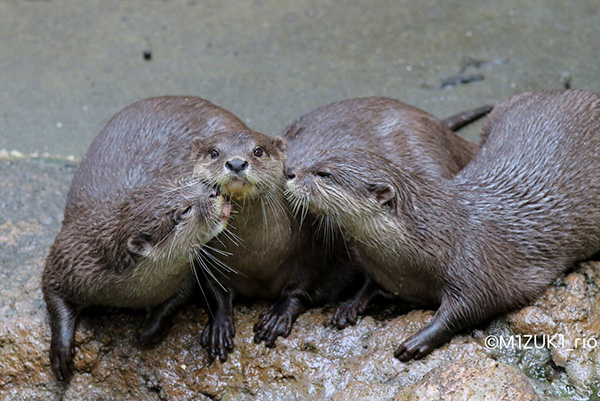 Otter Gets Kisses from His Friends