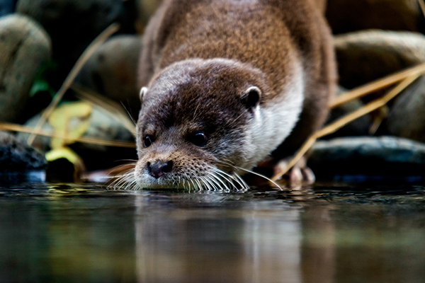 Otter Gets His Whiskers Wet