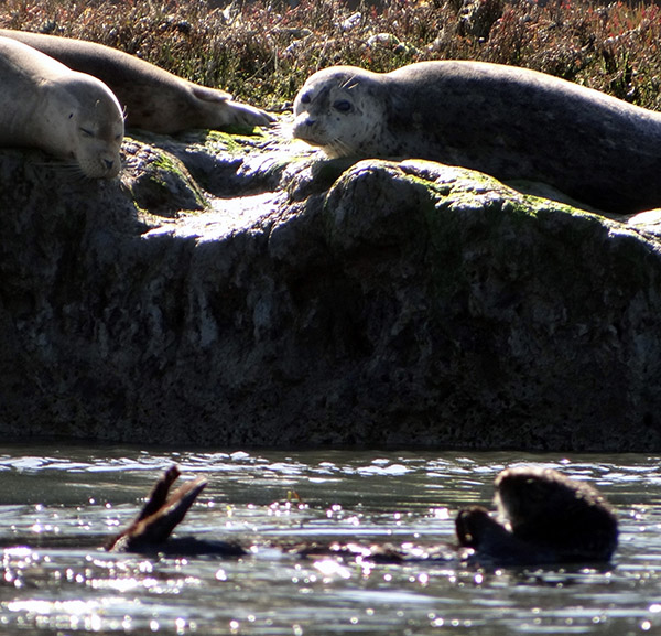 Sea Otter Floats by Seal Friends