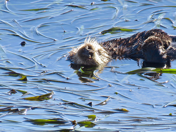 Sleeping Sea Otter Is About to Get a Noseful of Water