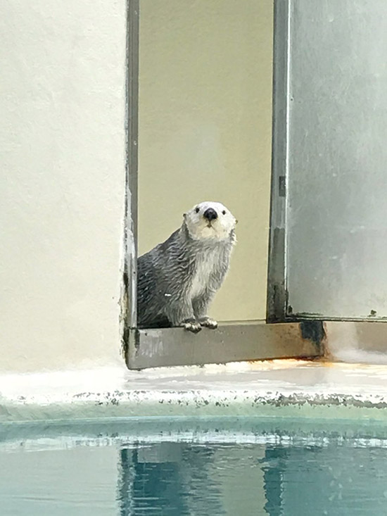 Sea Otter Makes Sure Her Audience Is Ready for Her Entrance