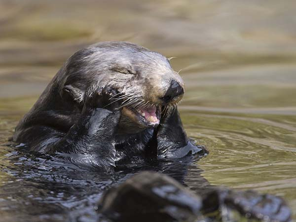 Sea Otter Has a Cheeky Giggle