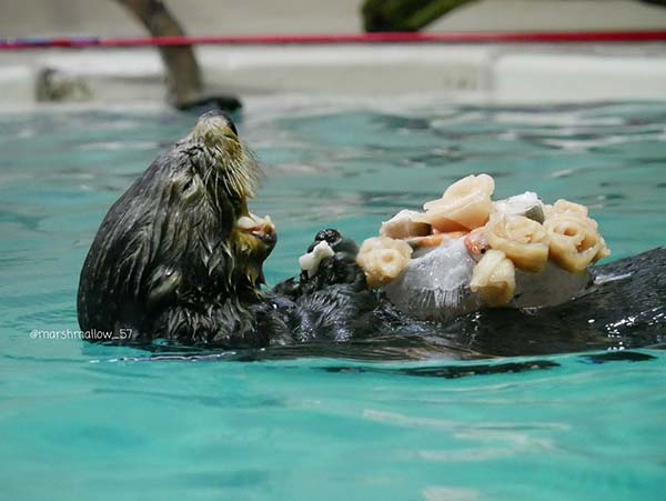 Otter Has a Feast on His Belly 2