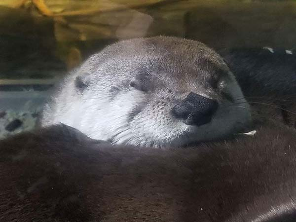 Sleepy Otter's Nose Looks Like It Could Be on a Playing Card