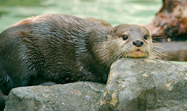 Otter Knows That Sometimes You Just Need to Rest Your Head