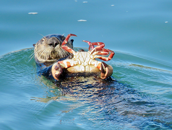 Sea Otter Is About to Feast on That Big Crab