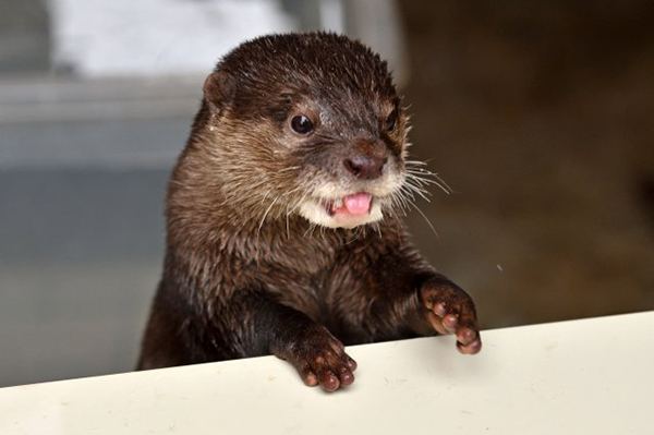 Customer Service Otter Will Accept Returns in Exchange for Fish