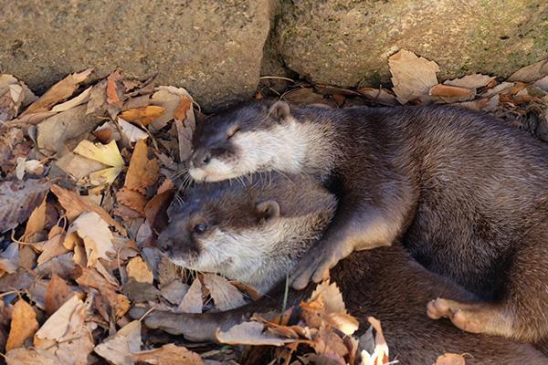 Sleepy Otter Spoons Her Friend
