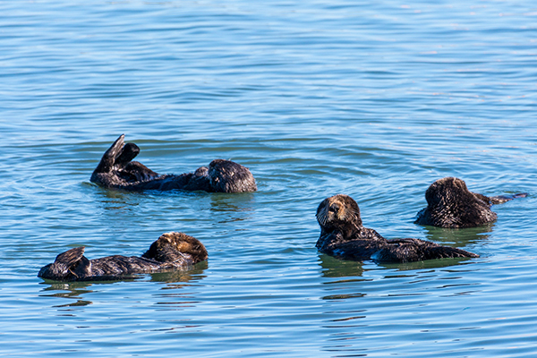 Sea Otters Keep an Eye Out in All Directions