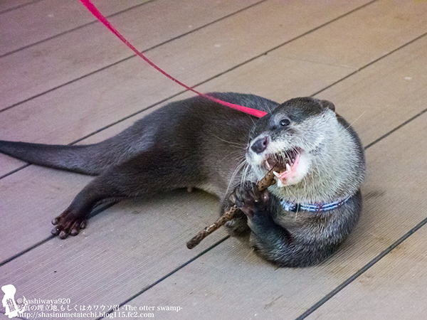 Flutist Otter Will Play You the Song of His People 2