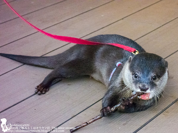 Flutist Otter Will Play You the Song of His People 3
