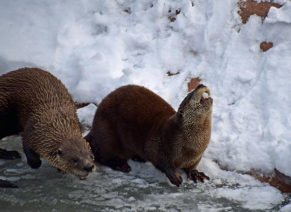 Otter Enthusiastically Noms Snow