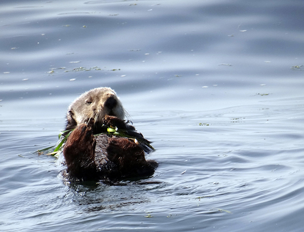 Otter Anchors Himself with Kelp