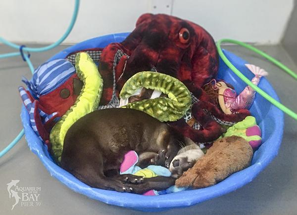Otter Naps Among All His Plush Friends