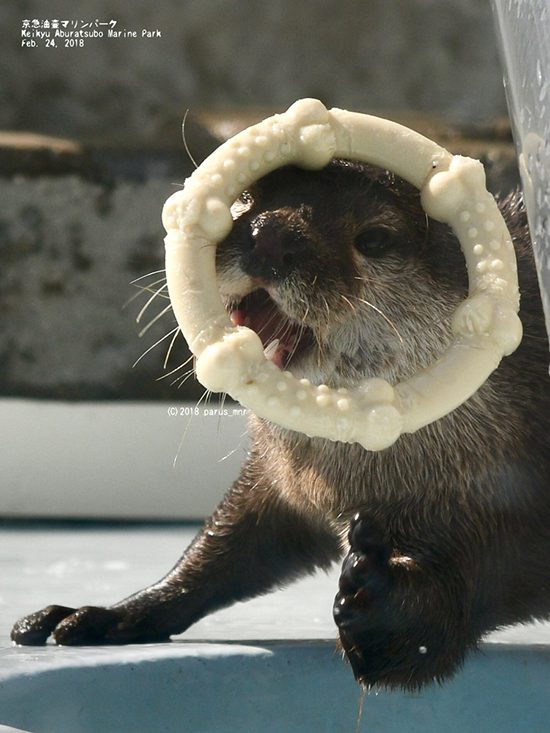 Otter Wears Her Toy on Her Head