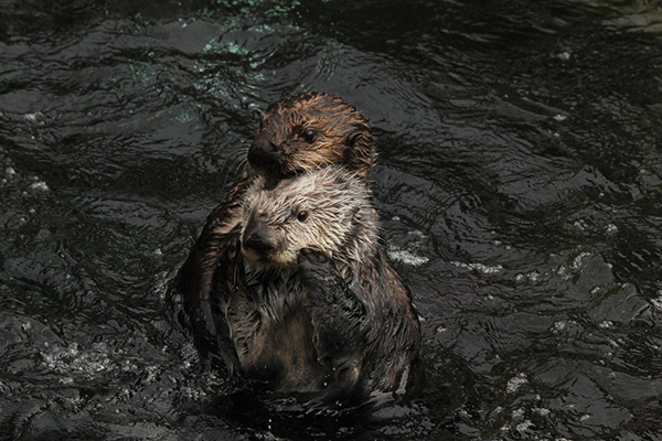 Stacking Sea Otters