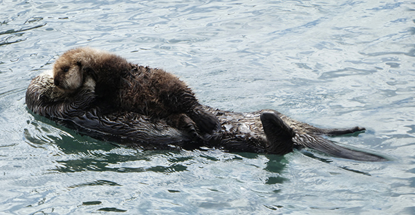 Sea Otter Mother Fluffs Up Her Pup's Fur
