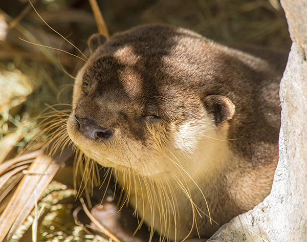 Otter Closes Her Eyes and Soaks Up a Sunbeam