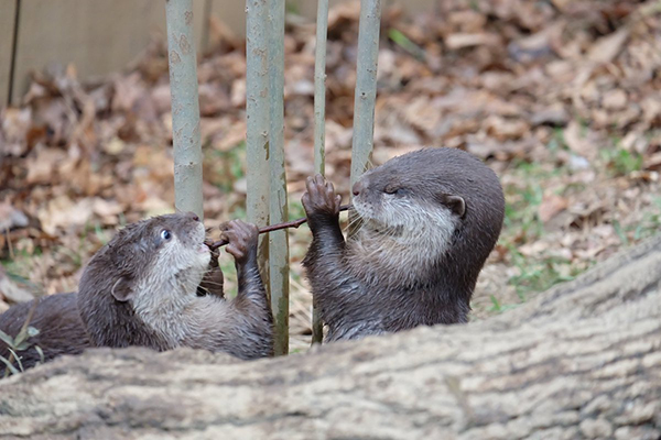 That Stick Is a Poor Replacement for a Spaghetti Noodle, Otters
