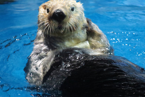 Sea Otter Touches Up Her Fur for a Photo