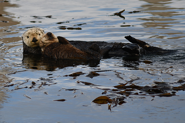Sea Otter Mother Holds Her Smiling Pup Close