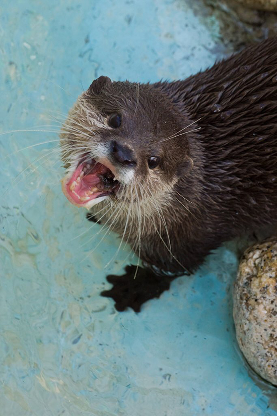 Otters Are So Cute They Don't Need Manners Like Not Chewing with Your Mouth Open