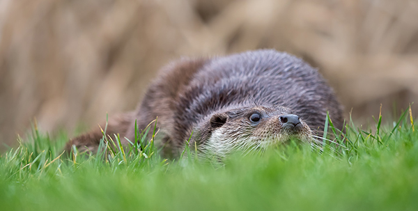 Otter's Plan: Lie Low, Jump Up, Surprise Keeper, Keeper Drops Treats, Gobble Them Up!
