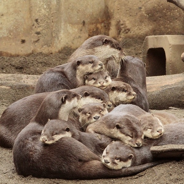 That Is One Big Otter Pile
