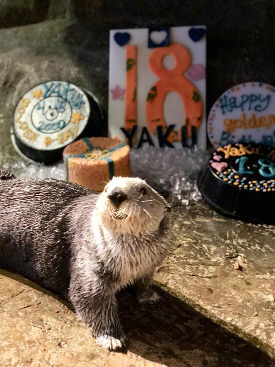 Sea Otter Yaku Celebrates His 18th Birthday! 1