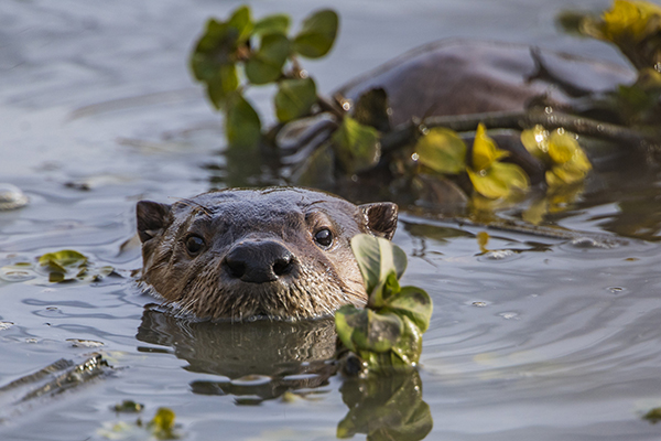 Otter Is Lurking in the Water